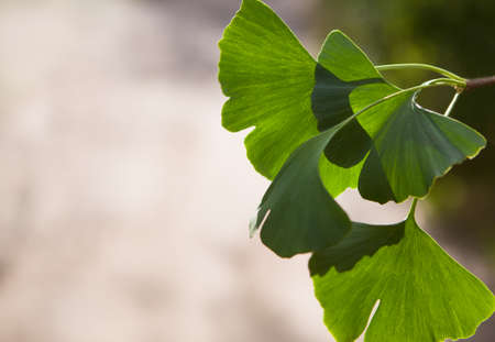Ginkgo biloba tree (Ginkgo biloba), or Ginkgo biloba with bright leaf. Selective closeup. Fresh wallpaper nature concept. Place for your text
