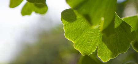 Outdoor ginkgo biloba leaves - place for your text.