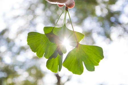 Beautifully sunlit ginkgo leaves with a shallow depth of field.