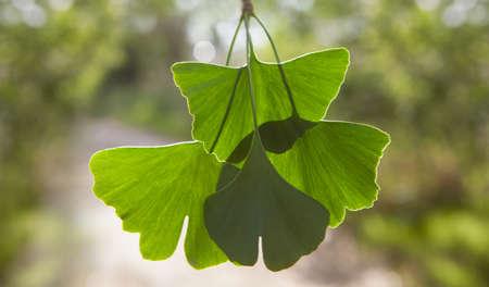 Close up of green leaves - Ginkgo biloba. Banque d'images