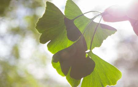 Ginkgo biloba green leaves on a tree, SPEACE.