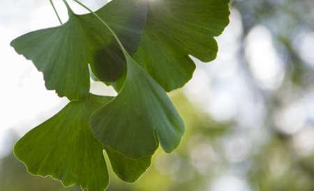 Alternativ medicine - ignkgo biloba green leaves.