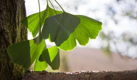 Ginkgo biloba green leaves on a tree. Ginkgo Biloba leaves on light sky.