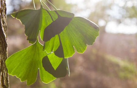 Beautifully sunlit ginkgo leaves - copy speace for text.
