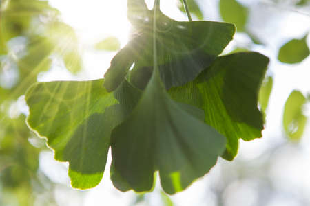 Ginkgo leaf background with copy space. Rays of the sun. Stock Photo