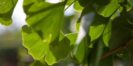 Ginkgo biloba green leaves on a tree. Ginkgo Biloba
