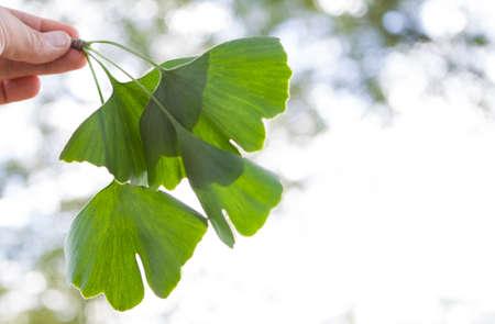 Ginkgo biloba green leaves on a tree. Ginkgo Biloba Tree Leaves on light sky. Banque d'images
