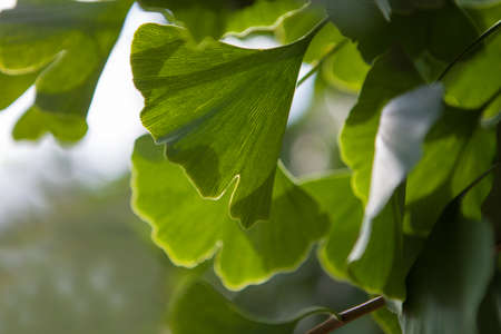 Ginkgo leaf, horizontal banner - copy speace for text. Banque d'images
