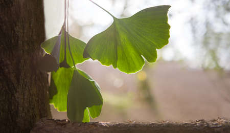 Green ginkgo leaves in summer, BANNER. Banque d'images