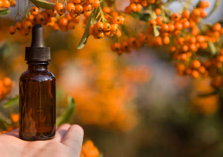Essential oil of sea buckthorn (Hippophae) in glass bottle with fresh, juicy ripe yellow berries