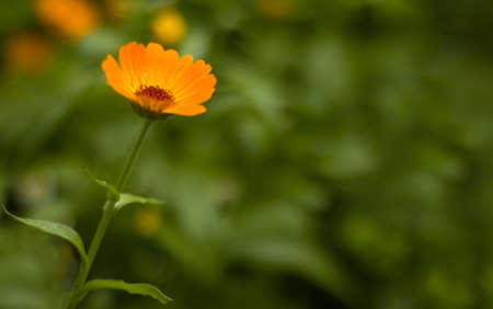 Bokeh image blurred background with orange flower and green leaves