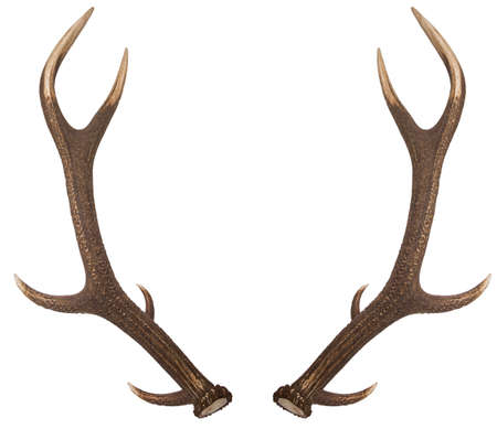 Pair of red deer antlers on a white