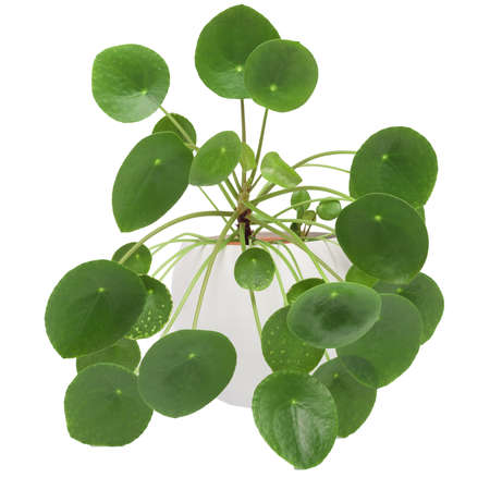 Pilea peperomioides, money plant in the white pot, Isolated. White background.