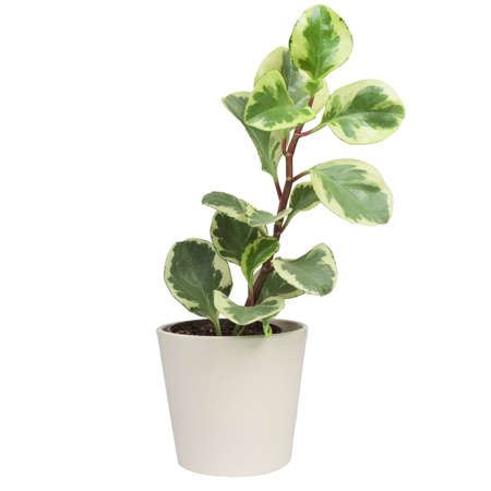 Potted Peperomia Obtusifolia Variegata, Variegated Baby Rubber Plant or Radiator plant houseplant. Isolated