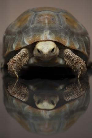 elongated: Turtle Elongated tortoise