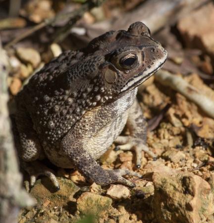 parotid: Toad Bufo Melanostictus