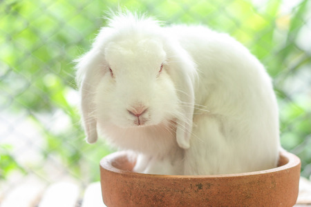 lop: White lop rabbit