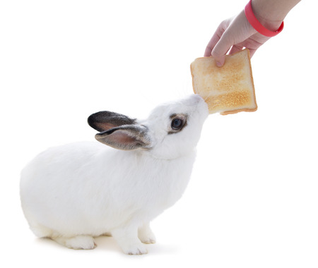 snatch: Cute spotted white rabbit on white isolated This flufly try to snatch a bread from hand. Stock Photo