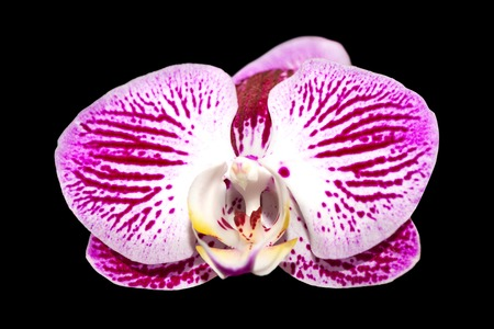 carpel: pink orchid isolated on black tropical flower for decoration
