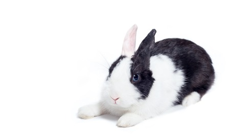 crouch: rabbit bunny crouch laying down isolated on white Stock Photo