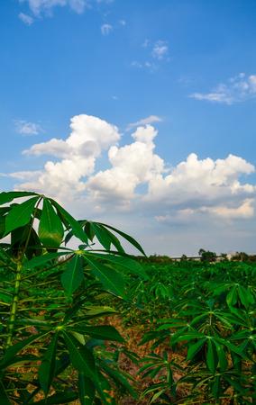 monosodium glutamate: Thailand : tapioca farm