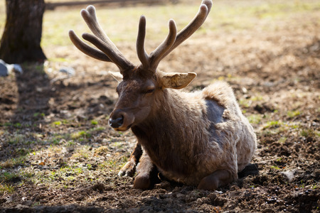 elaphus: Young siberian stag with antlers (cervus elaphus) also known both as maral or red deer lying on the ground Stock Photo