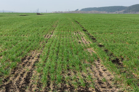 plowed: Plowed and sown field with first sprouts Stock Photo