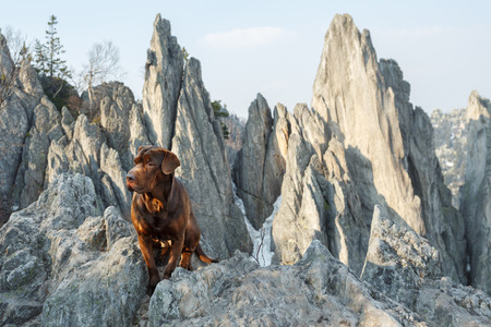 pedigreed: Pedigreed mixed breed brown dog sitting on the mountain top among the rocky mountain peaks. Stock Photo
