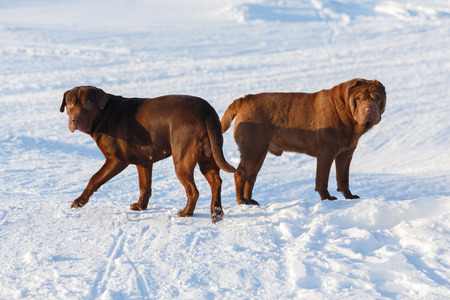 sharpei: Couple of pedigreed dogs standing in the snow filed at winter summer day Stock Photo