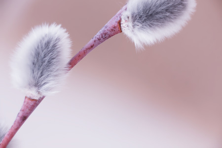 openness: Branch of pussy willow with blown buds against abstract spring background