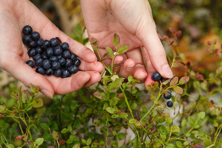 plucking: Picking bilberries. Woman gathering wild northern berries. Plucking. Stock Photo