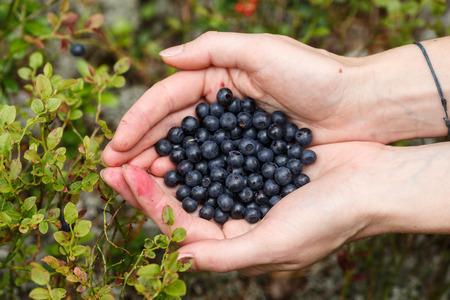 bilberries: Female handful of freshly picked wild bilberries Stock Photo