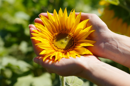 femal: Female hands holding blossoming sunflower on a summer sunny day Stock Photo