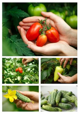 agricultura: Vegetal collage.Locavore cosecha, alimentaci�n limpia, la agricultura org�nica, la agricultura local, el concepto de crecimiento. Enfoque selectivo
