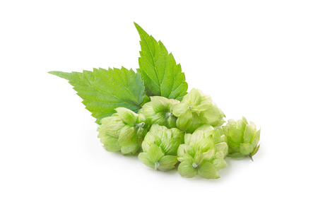 humulus: Fresh hops (flowers of  Humulus lupulus) with leaves. Large depth of field,retouched