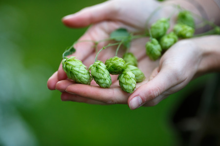 Female hands holding a bunch of hops. Selective focus, shallow depth of field Banco de Imagens