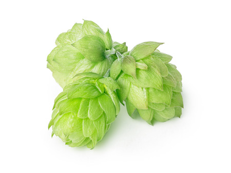 humulus: Fresh hops (flowers of  Humulus lupulus) without leaves. Large depth of field,retouched Stock Photo