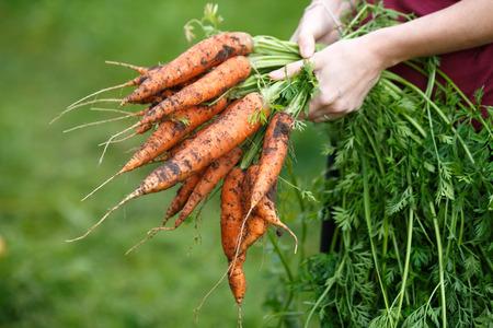 zanahoria: Mujer que sostiene una zanahoria recién excavadas. movimiento locavore, la agricultura local, el concepto de recolección