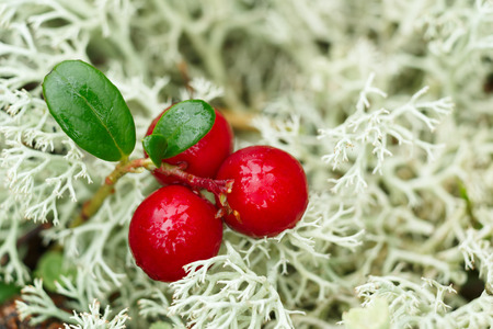 cowberry: Wild Cowberry (foxberry,lingonberry) in natural environment. Selective focus Stock Photo