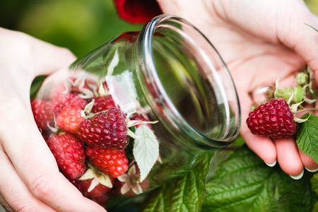 gathers: Raspberry picking. Woman gathers ripe berries into a glass jar. Harvesting, locavore movement, growing, local farming, clean eating concept Stock Photo