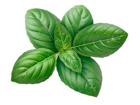 Genovese basil leaves (tops). Clipping paths, infinite depth of field