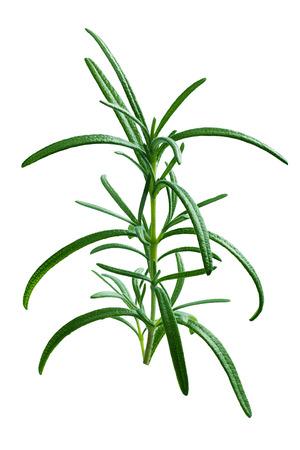 officinalis: Fresh rosemary (Rosmarinus officinalis). Stock Photo