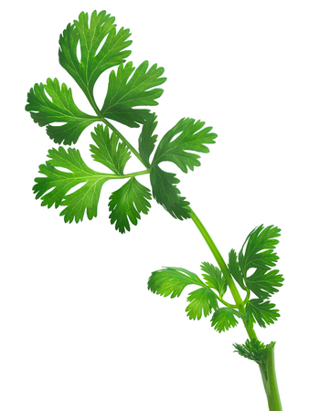 coriandrum sativum: Coriander ( Coriandrum sativum) or cilantro, Chinese parsley, dhania fresh leaves. Clipping path, infinite depth of field, natural colors Stock Photo