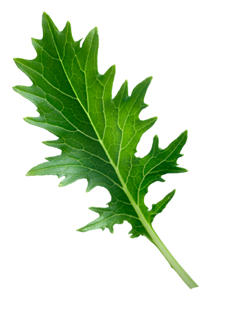 potherb: Mizuna (Japanese mustard) leafy green salad. Brassica rapa nipponsinica cultivated variety. Infinite DOF, clipping path, enhanced color