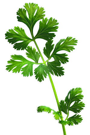 coriandrum sativum: Coriander ( Coriandrum sativum) or cilantro, Chinese parsley, dhania fresh leaves. Clipping path, infinite depth of field