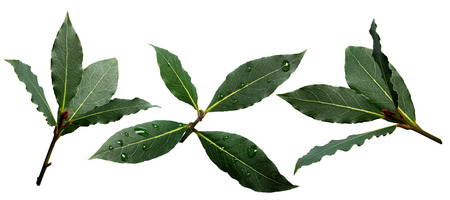 grecian: Set of sweet bay (laurel, Laurus nobilis,Grecian laurel) fresh leaves. Infinite depth of field, clipping paths Stock Photo