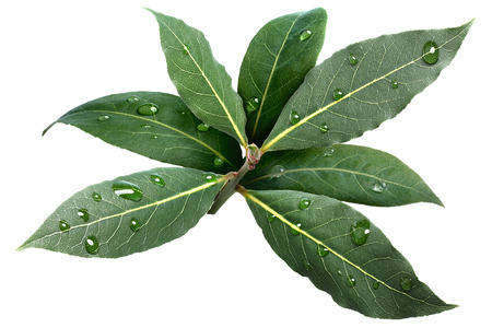 grecian: Sweet bay (laurel, Laurus nobilis,Grecian laurel) fresh leaves covered with water drops. Infinite depth of field, clipping path Stock Photo