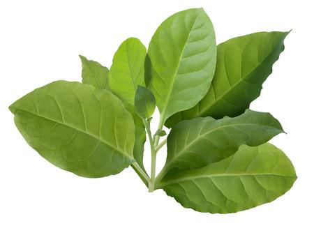 Tobacco leaves (Nicotiana tabacum), Viriginia variety. Infinite depth of field, clipping path Stockfoto