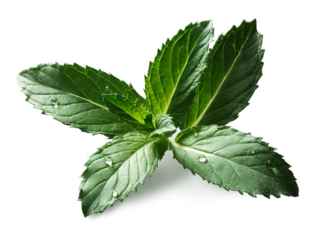 Peppermint (sweet mint, Mentha Piperita) leaves with few droplets. Bright sunlight appearance, clipping paths, infinite depth of field