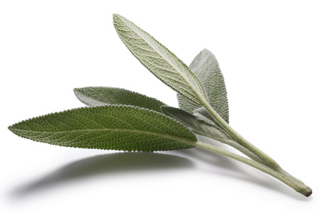 clipping: Sage (Salivia Officinalis) leaves. Infinite depth of filed, clipping paths for both leaves and shadow